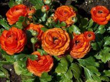 Cum cresti Ranunculus