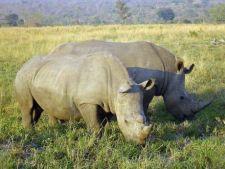 Masacrul rinocerilor din Africa de Sud a ajuns la cote alarmante