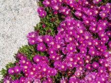Tipuri de plante suculente, ideale pentru gradina