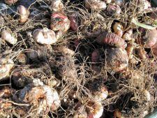 Plante cu bulbi in noiembrie