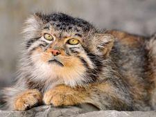Manul - o specie de pisica pe cale de disparitie