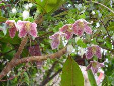 Sfaturi pentru ingrijirea plantei Clematis cirrhosa