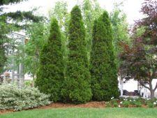 Sfaturi de ingrijire pentru copacul Thuja occidentalis