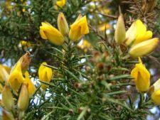 Sfaturi pentru cresterea plantei Ulex europaeus