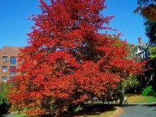Sfaturi de ingrijire pentru copacul Nyssa sylvatica
