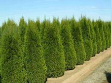 Tuia, coniferul perfect pentru gradina ta
