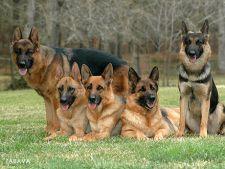 6 rase de caini usor de dresat