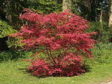 Artarul japonez, un arbust de toamna cu un colorit impresionant