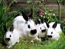 Sfaturi utile pentru cresterea si ingrijirea unui iepure