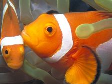 Pesti Clownfish evita conflictele in grup cu ajutorul sunetelor