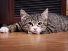 Reflux gastroesofagian la pisici: cauza de ingrijorare cand pisica vomita