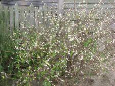 Lonicera fragrantissima, o planta ornamentala parfumata pentru gradina de iarna