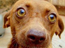 Glaucomul la caine: tratament si ingrijire
