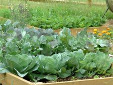 Cum cultivi varza in sezonul rece pentru a avea o recolta timpurie