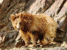 Cea mai rara specie de urs din lume, amenintata de schimba
