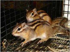 Tot ce trebuie sa stii despre ingrijirea veveritei siberiene