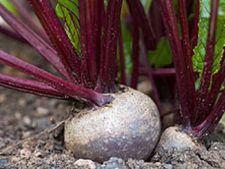 Sfecla rosie, o leguma de cultivat iarna in gradina