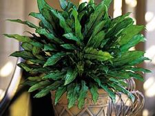 Aglaonema, planta de ghiveci pentru locuri cu lumina slaba