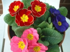 Primula polyanthus, o floare de interior in iarna