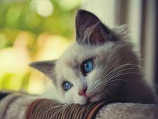 Principalele afectiuni oculare ale pisicii