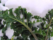 Napul, o leguma grozava pentru gradina de iarna