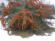 6 reguli in ingrijirea arbustului Pyracantha in sezonul rece