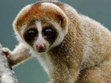Lorisul kayan, o noua specie de primate cu muscatura toxica