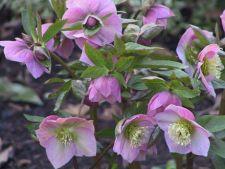 Hellebores, planta cu flori apreciata iarna
