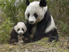 Ursii panda pot ajuta in lupta impotriva bacteriilor rezistente la antibiotice