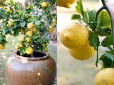 4 pomi fructiferi usor de crescut in ghivece