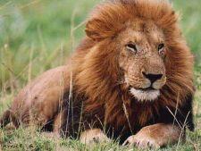 Vanatoarea de lei si leoparzi a fost interzisa in Zambia
