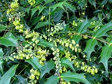 Mahonia japonica, un arbust spectaculos in sezonul rece