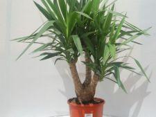 Invata sa ingrijesti planta yucca in timpul iernii