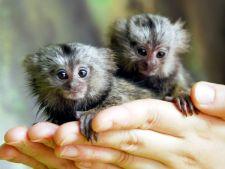 Marmosete cu urechi de bumbac, noile locatare de la Gradina Zoologica din Bucuresti