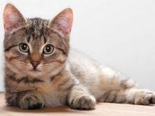 Pisicile imprumuta din obiceiurile oamenilor