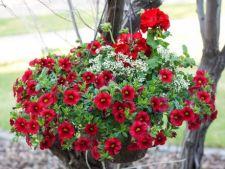 Top flori pentru ghivece suspendate