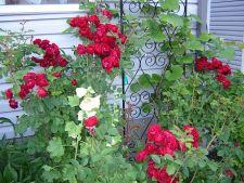 Trandafirii cataratori: cele mai importante aspecte ale cultivarii