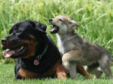Cum s-au transformat lupii in caini?