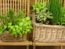 5 ierburi aromatice pe care le poti creste acasa