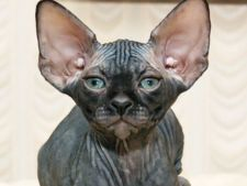 Cele mai potrivite rase de pisici pentru persoanele alergice