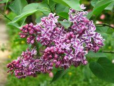 Top 5 cele mai frumoase specii de liliac