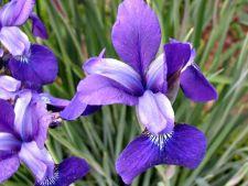 Cum sa intensifici culoarea florilor de iris