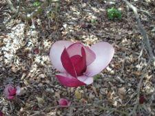 7 tipuri de magnolii pentru gradina ta