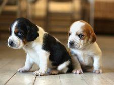 9 lucruri interesante despre cainii din rasa Beagle