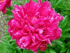 4 tipuri de plante parfumate, potrivite pentru gradina