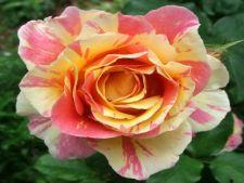 Flori gradina: 6 specii neobisnuite si superbe de trandafiri
