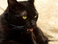5 motive pentru care pisica are blana rara deasupra ochilor