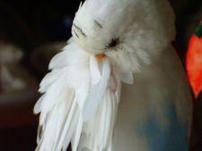 Cele mai frecvente motive pentru care papagalul isi smulge penele