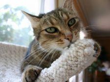 5 motive pentru care pisica mananca lana