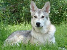 6 rase de caini care seamana cu lupi